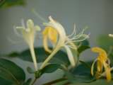 Close Up of Honeysuckle, Elkhorn, Nebraska Photographic Print by Joel Sartore