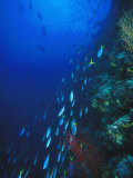 Blue and Gold, Fusiler, Caesio Teres, Swimming Down Reef Wall, Solomon Islands Photographic Print by James Forte