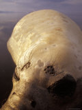 Closeup of a Vulnerable Southern Elephant Seal Resting in the Ocean, Australia Photographic Print by Jason Edwards