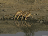 Alert and Timid Small Herd of Impalas Drink at a Waterhole Photographic Print by Jason Edwards