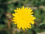 Bright Yellow Alpine Wildflower Shows It's Petals to the Sun, Alpine Nationals Park, Australia Photographic Print by Jason Edwards