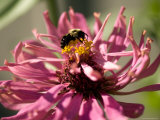 Close Up of Zinnias with a Bee on It, Elkhorn, Nebraska Photographic Print by Joel Sartore
