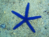 Blue Sea Star or Starfish on Sand, Linckia Laevigata Photographie par James Forte