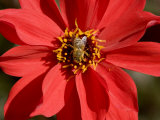 Closeup of a Honey Bee Visiting a Red Flower Photographic Print by Tim Laman