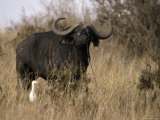 Cape Buffalo with Large Curving Horns and a Cattle Egret Photographic Print by Jason Edwards