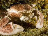 Anemone or Porcelain Crab in its Host Anemone, Malapascua Island, Philippines Photographic Print by Tim Laman