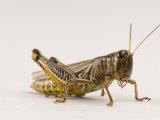 Adult Differential Grasshopper Found Spring Creek Prairie Photographic Print by Joel Sartore