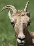 Big Horn Sheep at Zoo Montana Photographic Print by Joel Sartore