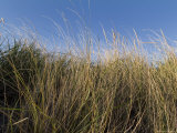 Close-Up of Aquatic Grass against a Blue Sky, Block Island, Rhode Island Photographic Print by Todd Gipstein
