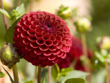 Closeup of a Red Flower in Butchart Gardens Photographic Print by Tim Laman