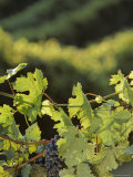 Cabernet Sauvignon Grapes on the Vine, Washington Photographic Print by Kenneth Garrett