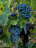 Close View of Chianti Grapes Growing on a Vine in Tuscany, Italy Photographic Print by Todd Gipstein