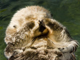 Closeup of a Captive Sea Otter Covering his Face Photographic Print by Tim Laman