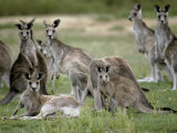 Alert Mob of Eastern Grey Kangaroos Standing and Lying Down, Australia Photographic Print by Jason Edwards