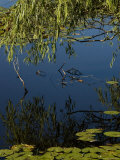Branches of a Tree Reflected in a Lily Pond, Groton, Connecticut Photographic Print by Todd Gipstein