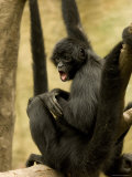 Black Spider Monkeys at the Omaha Zoo, Nebraska Stampa fotografica di Sartore, Joel