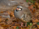 Chukar in Fall Color at the Riverside Zoo Photographic Print by Joel Sartore