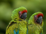 Buffon's or Great Green Macaws at the Zoo Stampa fotografica di Sartore, Joel