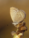 Common Grass Blue Butterfly Becomes Active as the Day Warms Up, Australia Photographic Print by Jason Edwards