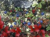 Blueberry Plants and Mosses, Alaska Fotografisk tryk af Rich Reid