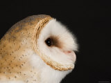 American Barn Owl, Lincoln, Nebraska Photographic Print by Joel Sartore