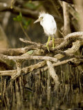 Cattle Egret Chick, Out of its Nest after Falling, Tampa Bay, Florida Photographic Print by Tim Laman
