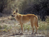 Alert Dingo Standing in an Open Patch of Desert Wild Flowers, Australia Photographic Print by Jason Edwards