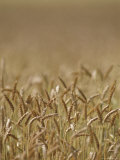 Closeup of Wheat in Field Photographic Print by Kenneth Garrett