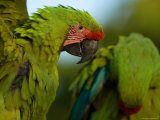 Buffon's or Great Green Macaws, at the Zoo Stampa fotografica di Sartore, Joel