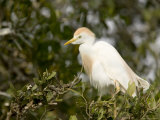 Cattle Egret in Breeding Plumage Photographic Print by Tim Laman