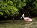 Adult Roseate Spoonbill Portrait, Tampa Bay, Florida Photographic Print by Tim Laman