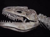 Allosaurus Skeleton Skull, Jaws and Teeth, against a Black Background Fotografisk tryk af Jason Edwards