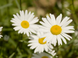 Closeup of Daisies, Massachusetts Photographic Print by Tim Laman