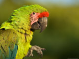 Buffon's or Great Green Macaw, at the Zoo Photographic Print by Joel Sartore