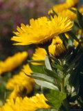 Bright Yellow Calendula Flower Petals in a Garden, Australia Photographic Print by Jason Edwards