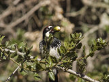 Acorn Woodpecker Carrying an Oak Acorn, Yosemite, California Photographic Print by Rich Reid