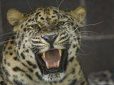 Amur Leopard from the Omaha Zoo, Nebraska Photographic Print by Joel Sartore