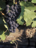 Cabernet Grapes on the Vine in Santa Ynez Valley, California Photographic Print by Rich Reid