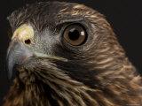 Broadwing Hawk, Lincoln, Nebraska Stampa fotografica di Sartore, Joel