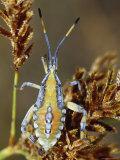 Colorful Bright Yellow, Orange and Blue Shield Bug on a Seed Head, Bulla Tail Creek, Australia Fotoprint van Jason Edwards
