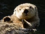 Closeup of a Captive Sea Otter Making Eye Contact Fotografisk tryk af Tim Laman