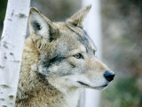 Closeup of a Captive Coyote, Massachusetts Photographic Print by Tim Laman