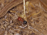 Bright Red Ant with a Huge Head Carries a Grass Seed to the Nest, Australia Photographic Print by Jason Edwards
