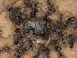 Chaotic and Relentless Ant Colony Feeding on Dead Insect Prey, Australia Fotoprint van Jason Edwards