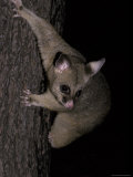 Brushtail Possum Descending a Tree Using its Long Claws to Grip, Australia Photographic Print by Jason Edwards