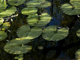 Close View of the Leaves of Water Lilies, Groton, Connecticut Photographic Print by Todd Gipstein