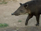 Bairds Tapir, An Endangered Species at the Zoo Photographic Print by Joel Sartore