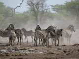 Alert Zebra Herd Stirs Up Dust at a Waterhole in Dry Season Drought Photographic Print by Jason Edwards