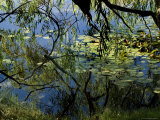 Branches of Trees Reflected in a Lily Pond, Groton, Connecticut Photographic Print by Todd Gipstein