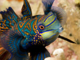 Close View of a Male Mandarinfish, Malapascua Island, Philippines Fotografisk tryk af Tim Laman
